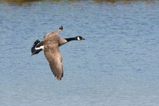 A Canada Goose looking for a landing place on the Wader Scrape