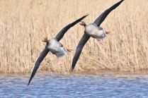 A synchronised flying display from some Greylag Geese