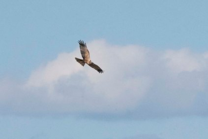 A Marsh Harrier from Townend Hide