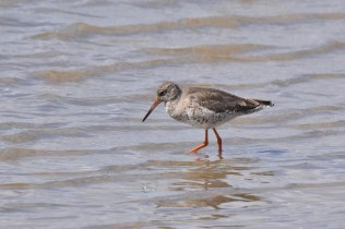 A lovely Redshank enjoying the sunshine at East Hide