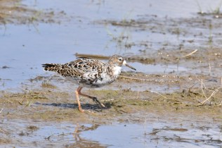 A Ruff showing-off its wonderful plumage