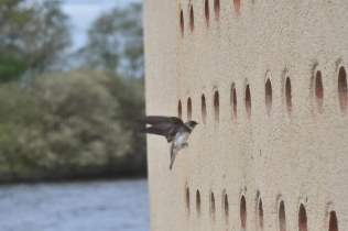 Gotcha! a nearly in-focus Sand Martin!