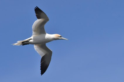 A Gannet soars through the beautiful blue sky just above my head.