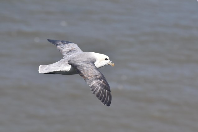 The Fulmar is one of my favourite birds to try to catch in-flight.