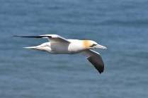 A Gannet whizzes past close at hand