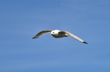 A Kittiwake looking beautiful against the blue sky.