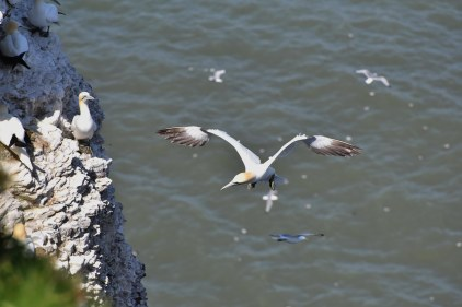This Gannet was looking for a landing spot on the crowded cliff-face.