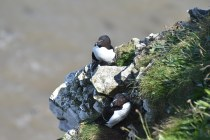There are a lot of Razorbills at Bempton Cliff at the moment.