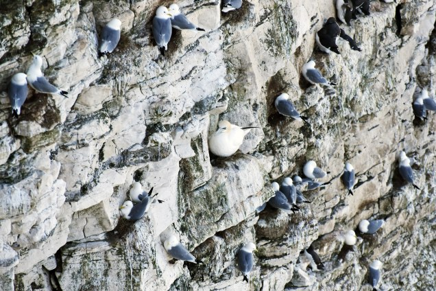 Every ledge has been claimed at Bempton's 'Seabird City'