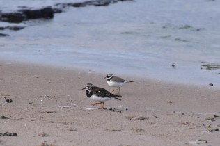 A good size comparison between a Turnstone and a Ringed Plover