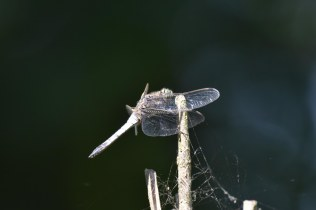 This Black-Tailed Skimmer was enjoying the sunshine today.