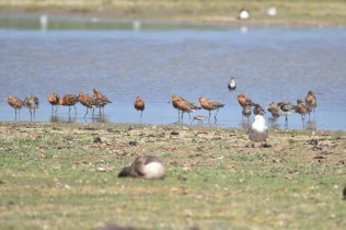 Spot the tiny Dunlin next to the 'giant' Godwits.