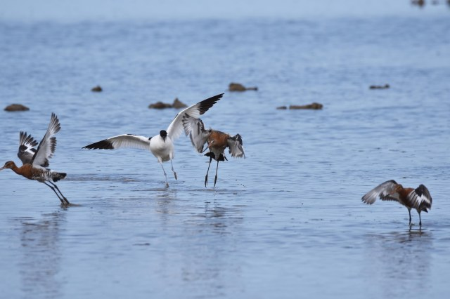 Cley 05 - Bullying Avocet