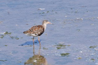 There were lots and lots of Ruff around today. This one was close-in to the Island Hide.