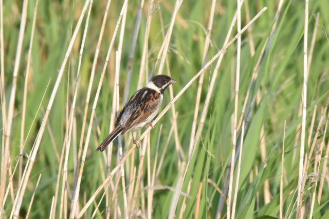 Titchwell 02 - Reed Bunting