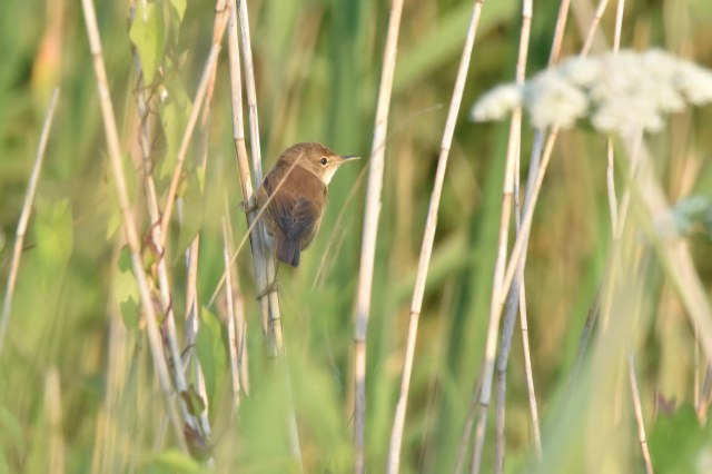 Titchwell 03 - Reed Warbler