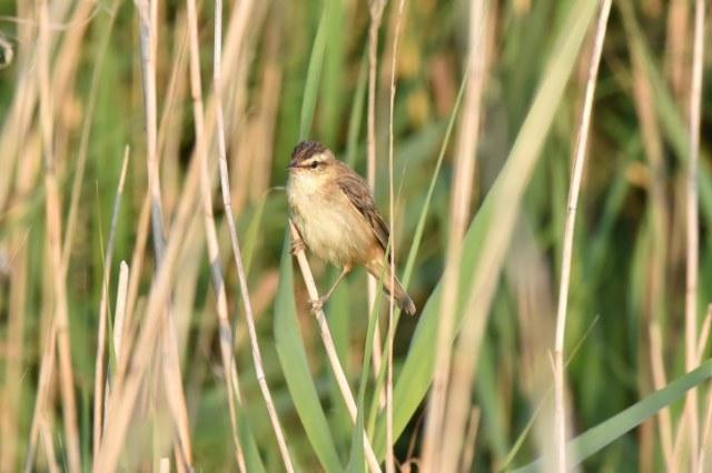 Titchwell 04 - Sedge Warbler
