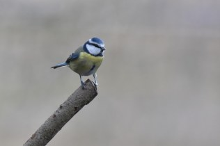 A lucky shot as a Blue Tit stopped just long-enough for a quick snap.
