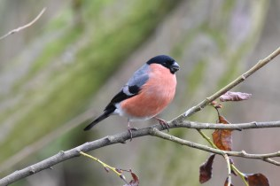 A male Bullfinch chomping through a Sunflower Seed in the Bird Garden today.