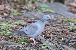 A Stock Dove picking-over the leaf-litter for tasty morsels.