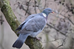 A beautiful Woodpigeon keeping a close eye on me!