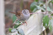 A Dunnock eyes me warily....