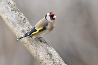 Always a pleasure to see a beautifully-plumaged Goldfinch
