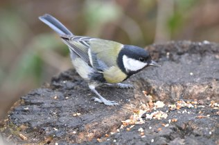 This Great Tit was enjoying the seed left by some kind passer-by