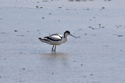 An Avocet just by the Island Hide