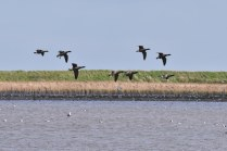 Part of a much larger 'squadron' of Brent Geese over the Freshwater Marsh