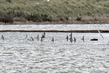 A flock of Turnstone coming in to land on an island in the Tidal Marsh.