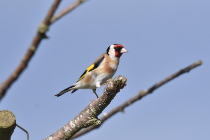 A lovely Goldfinch posing by the feeders at the Visitors' Center