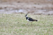 A Lapwing keeping a wary eye on me...