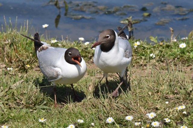 BH Gulls