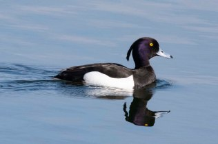 This smart-looking male Tufted Duck cruised by the front of the Reedbed Hide