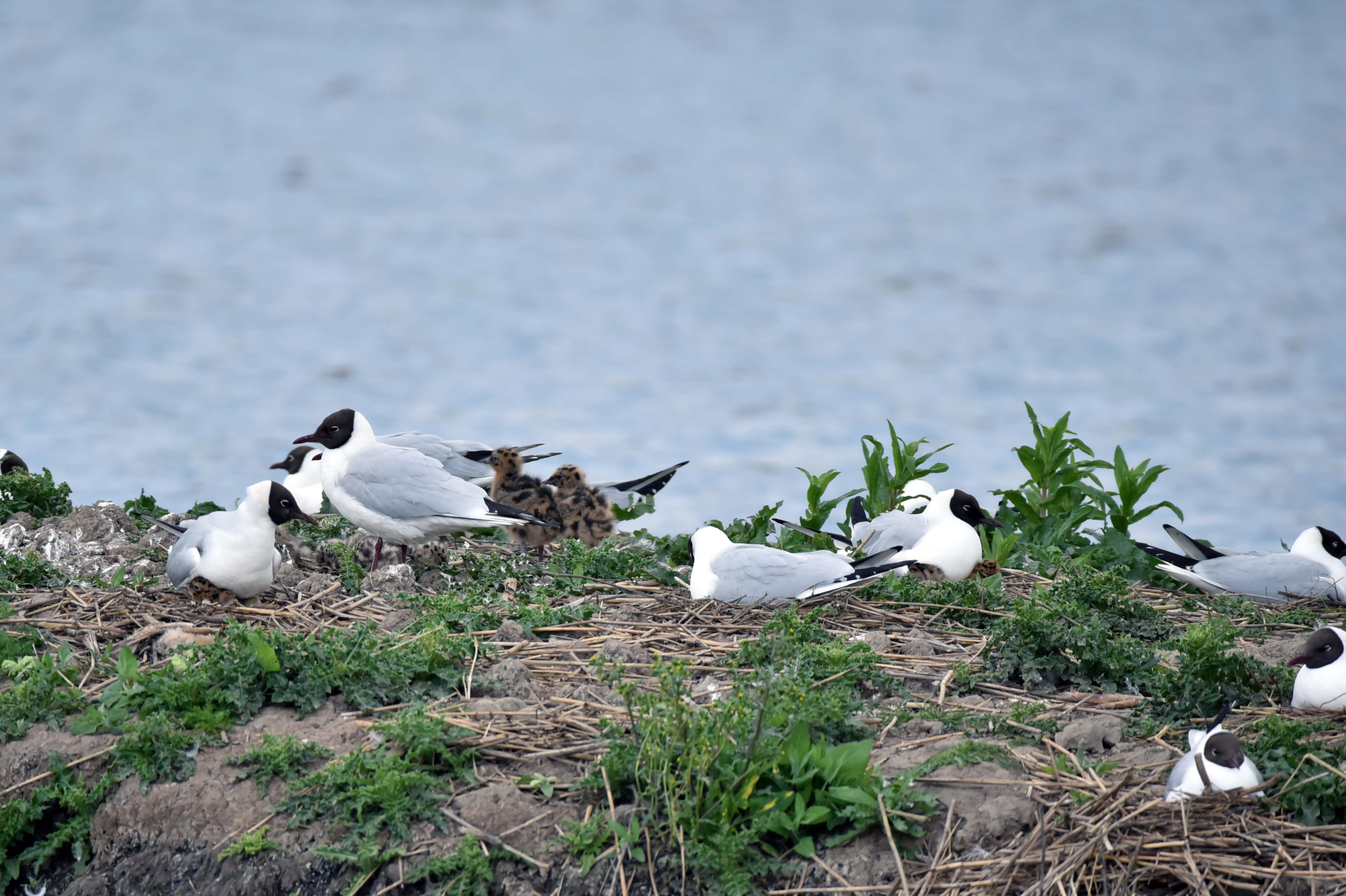 Black Headed Gulls