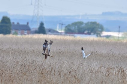A Marsh Harrier being 'harried' by an angry parent Avocet