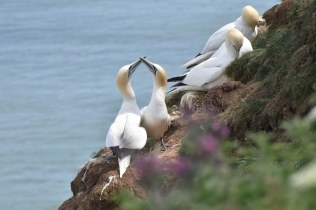 Gannets regularly 'canoodle' to strengthen their pair-bonding.